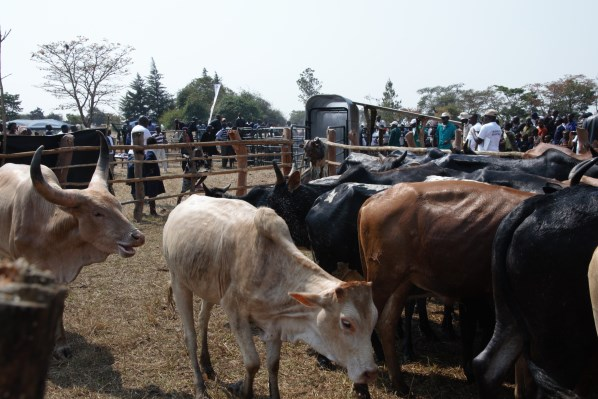 LIVESTOCK SECTOR TO LOSE OUT ON BEEF EXPORTATION- MUSIKA ZAMBIA