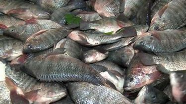 FISH ON THE VERGE OF EXTINCTION IN KAFUE FLATS