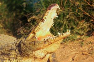 GOVT SUSPENDS DUTY ON CROCODILE SKIN AS COVID-19 MEASURE