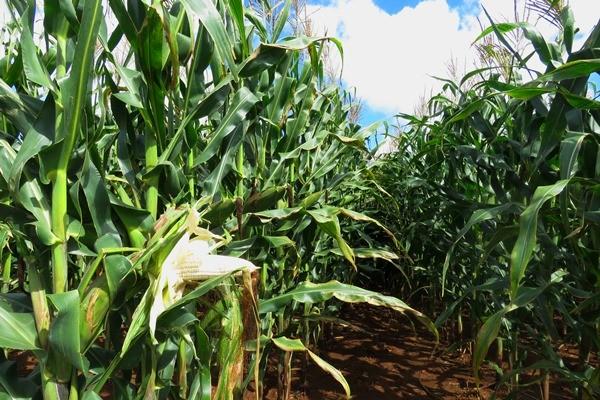 69% INCREASE: ZAMBIA RECORDS MAIZE BUMPER HARVEST
