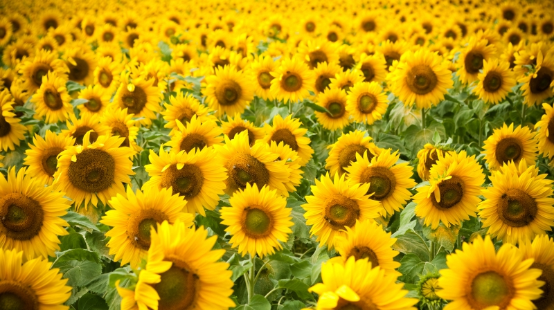 CDFA CALLS FOR EXPANSION OF SUNFLOWER OIL PROJECT